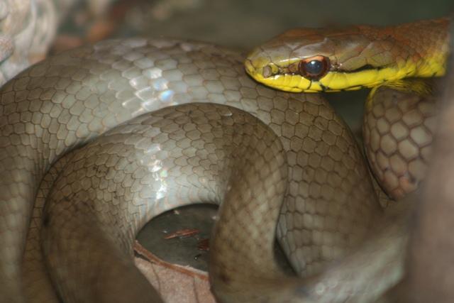 Mastygodrias melanolomus, serpiente corredora café