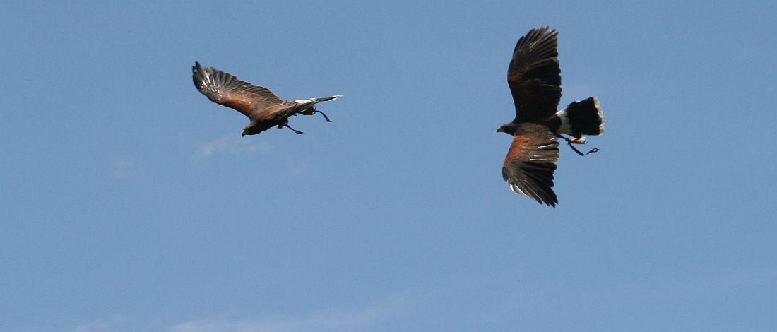 halcones